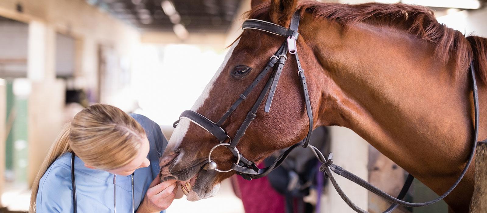 Veterinarian checking horses teeth